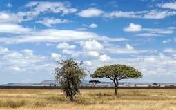 Acacia tree in Tanzania Stock Photo