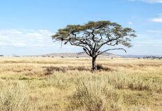 Acacia tree in Tanzania Royalty Free Stock Image