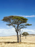 Acacia tree in Tanzania in vertical Stock Images