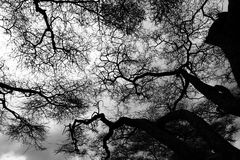 Acacia tree tops silhouette. The tops of acacia trees in silhouette stock photo