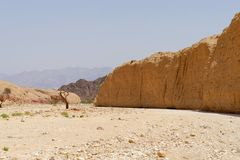 Acacia tree trunk in the desert near Eilat, Israel Stock Photography