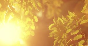 Acacia tree twigs with leaves in front of sunshine. Warm sunset light stock video footage