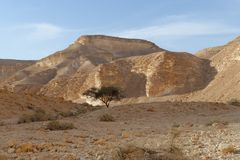 Acacia tree under the hill in the rocky desert at sunset. (Nahal Barak valley, Israel&#x29 Stock Images