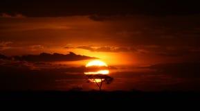 Acacia tree under Serengeti Sunset Royalty Free Stock Images