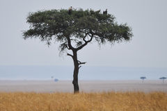 Acacia tree with vultures Royalty Free Stock Photography