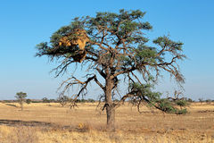 Acacia tree and weaver nest Stock Photos