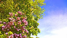 Acacia tree with white flowers and lilac blossoms on springtime Royalty Free Stock Photography