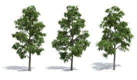 Acacia trees Stock Image