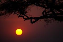 Acacia Trees Royalty Free Stock Photo