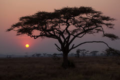 Acacia Trees Stock Photography