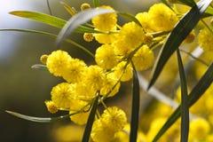 Acacia trees. View of beautiful yellow acacia trees on the nature Stock Photos