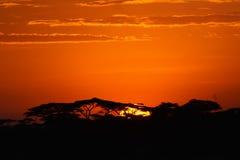 Acacia trees at the African savanna Royalty Free Stock Photos