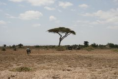 The African savannah, Amboseli, next to Mt. Kilimanjaro. Stock Photo