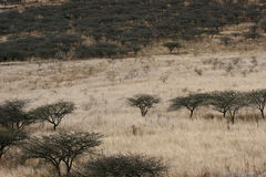 Acacia trees in grass lands Stock Image