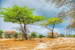 Acacia trees. Landscape with acacia trees in Selous Game Reserve, Tanzania, Africa royalty free stock photos
