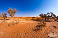 Acacia trees and sand dunes at Sossusvlei, Namib Naukluft National Park, Namib desert, scenic travel destination in Namibia, Afric Royalty Free Stock Images