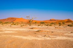 Acacia trees and sand dunes at Sossusvlei, Namib Naukluft National Park, Namib desert, scenic travel destination in Namibia, Afric. A Royalty Free Stock Photo