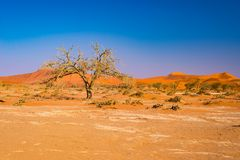 Acacia trees and sand dunes at Sossusvlei, Namib Naukluft National Park, Namib desert, scenic travel destination in Namibia, Afric. A Royalty Free Stock Photography