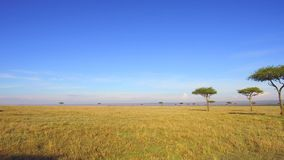 Acacia trees in savanna at africa stock video