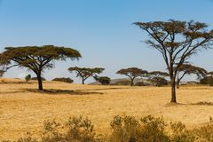Acacia trees in the savannah. Green acacia trees in the savannah with yellow grass, blue sky and mountains in the background stock photography