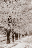 Acacia trees in the snow, sepia Royalty Free Stock Images
