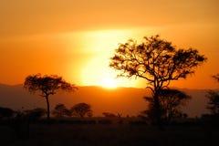 Acacia trees at sunset, Tarangire National Park, Tanzania. Acacia  trees at sunset, Tarangire National Park, Tanzania Royalty Free Stock Images