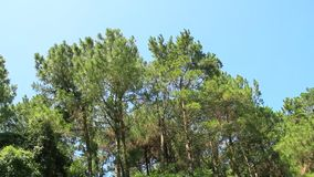 Acacia trees and wind. The acacia trees and wind stock video footage