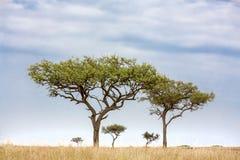 Acacia tress in the Masai Mara Royalty Free Stock Image
