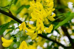 Acacia u olmo amarillo de las floraciones Mimosa, acacia y otras plantas en la rama imagen de archivo libre de regalías