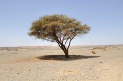 Acacia umbelado en desierto árabe, foto de archivo libre de regalías
