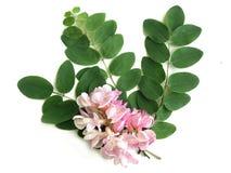 Acacia (Vachellia) Fotos de archivo libres de regalías