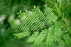 Acacia verde macro de la hoja Fotos de archivo