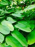 Acacia vert Photos stock