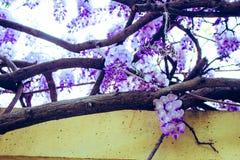 acacia photographie stock libre de droits
