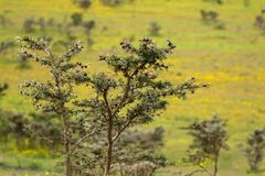 Acacia whistling thorn tree with brown bulbous growing at Ngorongoro Crater, Arusha, Tanzania, Africa. Acacia whistling thorn tree with brown bulbous growing at royalty free stock images