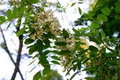 Acacia Royalty Free Stock Photo