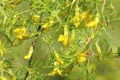 Acacia. Stock Photo