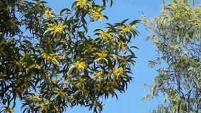 Acacia yellow flowers with the wind stock video footage