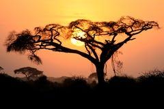 acaciaafricana Royaltyfria Bilder