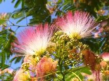 acaciaalbizzia blommar julibrissin Arkivfoto