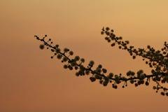 AcaciablomningSilhouette - fjäder Arkivfoto
