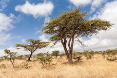 Acaciabomen tijdens droog seizoen in Ethiopië Stock Afbeelding
