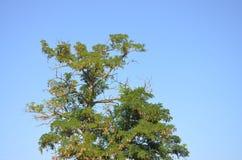Acaciaboom Stock Foto