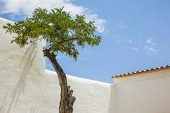 Acaciaboom Royalty-vrije Stock Fotografie