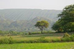 Acaciaboom Stock Fotografie