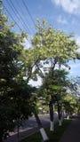 Acaciaboom in Armenië Royalty-vrije Stock Afbeelding