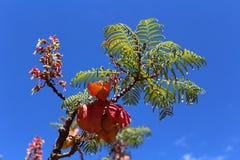 Acaciaboom in bloesem, Afrikaanse flora royalty-vrije stock afbeelding
