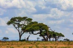 Acaciaboom in de open savanne mara Kenia stock afbeeldingen