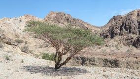 Acaciaboom in dorre bergen, Oman stock afbeeldingen