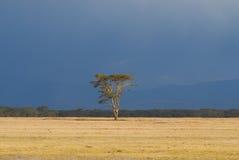 Acaciaboom op Afrikaanse vlakte (Kenia) Stock Fotografie